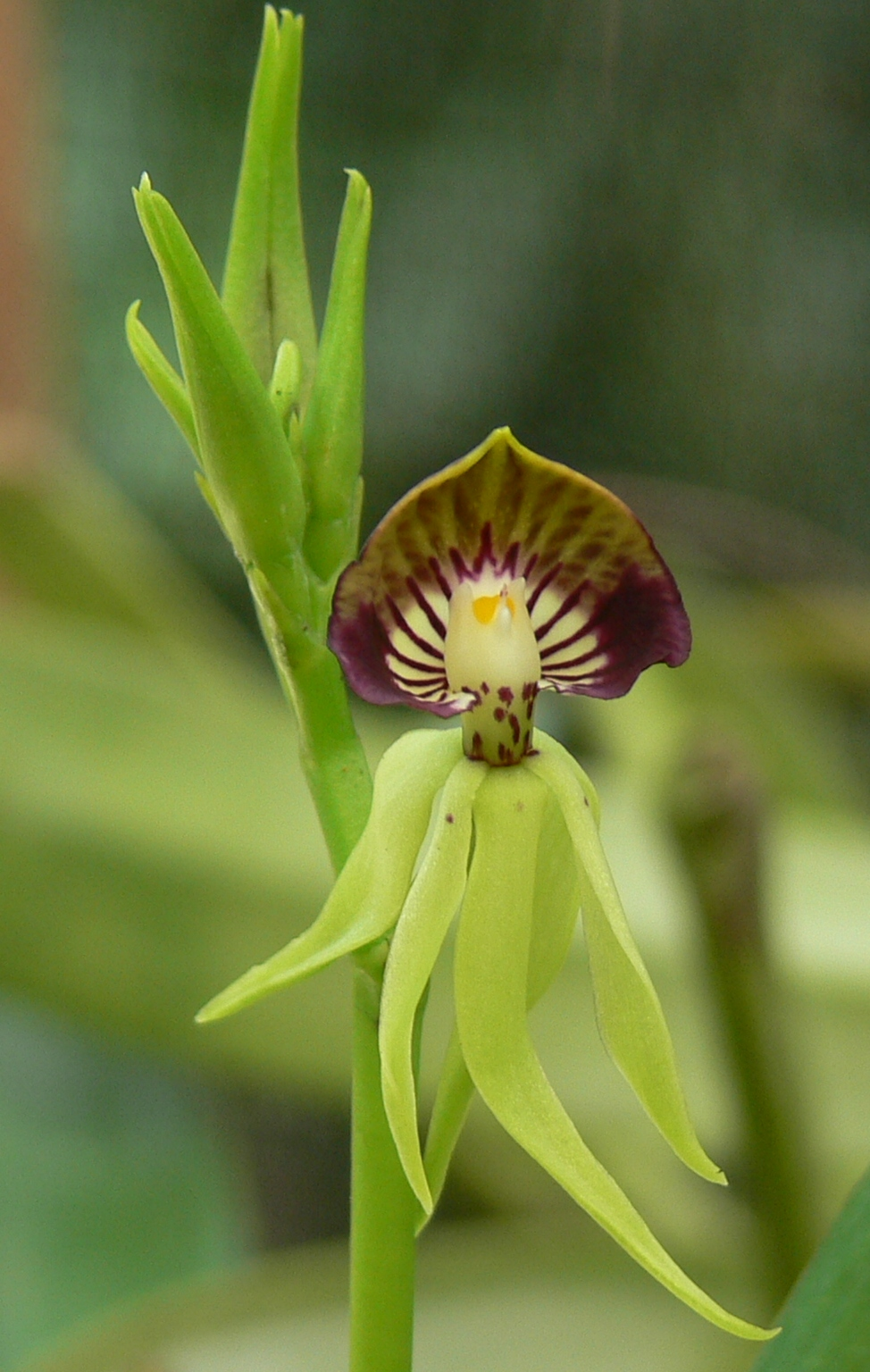 The Black Orchid At Caves Branch Belizes National Flower