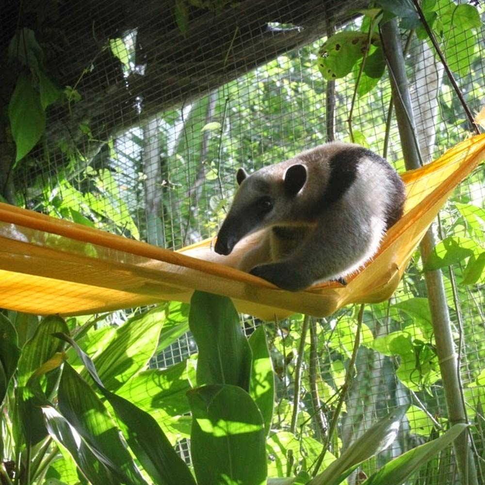 belize-botanical-gardens-tamandua-3